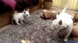 Westie Playing With New Puppy, Me And My Brother