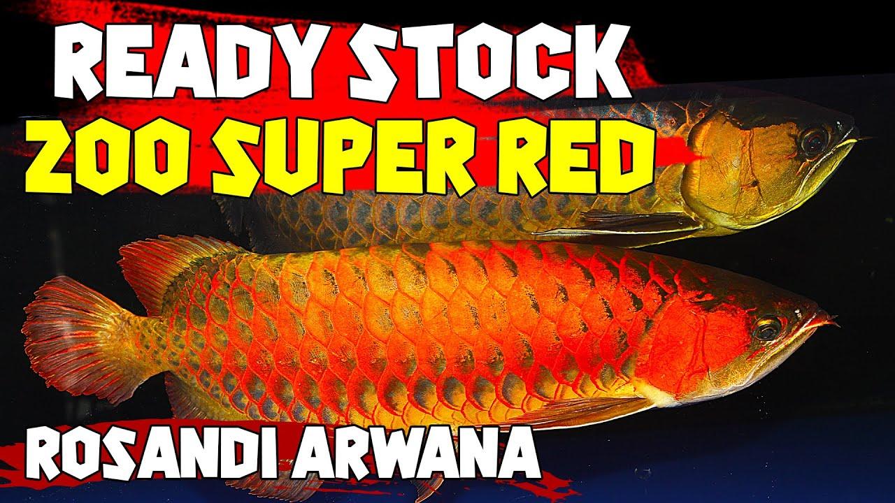 200 EKOR ARWANA SUPER RED READY STOCK !! ROSANDI ARWANA JAKARTA