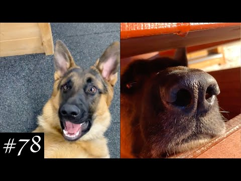 Just Another German Shepherds 🐕❤️ | Funny Dogs Videos