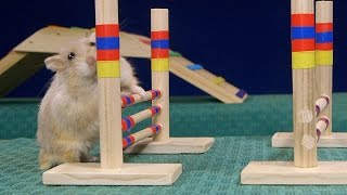 Repeat youtube video Tiny Dwarf Hamster Agility Course - Dumptruck Vs Porkchop