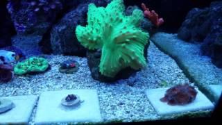 steigerwalt s 75g reef tank island theme