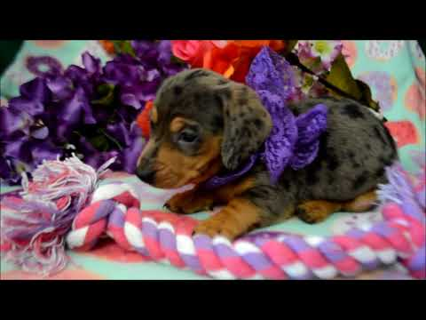 Tiara AKC Female Silver Dapple Miniature Dachshund Puppy for sale.