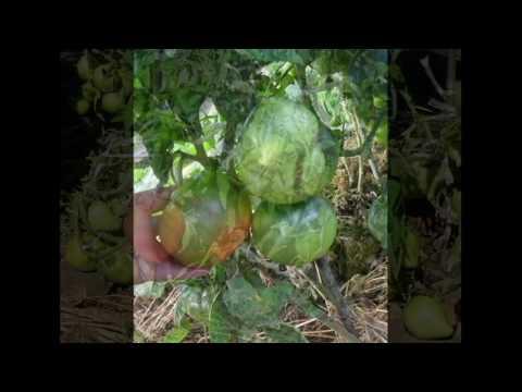 Выращивание помидор в Краснодарском крае советы по уходу