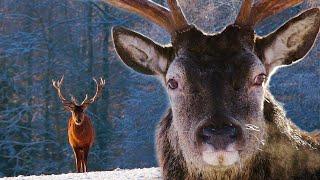 Олени зимой в Рождество 4K | Film Studio Aves