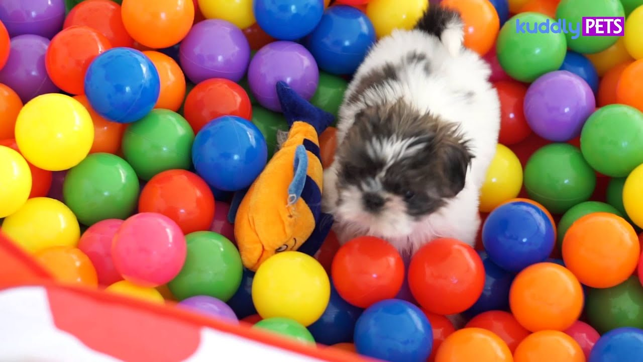 Image result for shih tzu собака играя в пул мячей