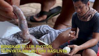 SAATNYA SOBEK TELUR DEWI PYTHON/TIGA TELUR TUMBANG