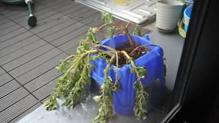 しおれた鳳仙花(ホウセンカ)、水をあげたら僅か3時間で復活。その間のTi...