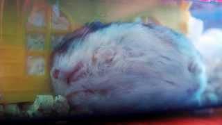 Tiny Hamster Funny sleeping poses