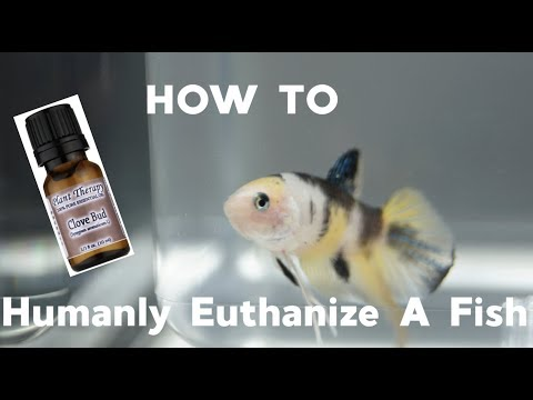 HOW TO Humanly Euthanize A Fish
