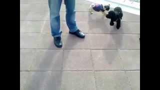 Pug Vs Poodle