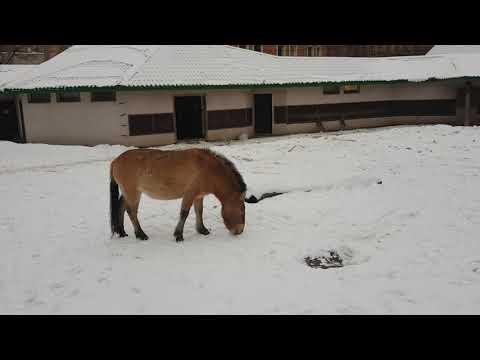 Przewalski's wild horse on snow