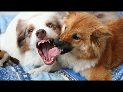 Dogs Playing Together | Australian Shepherd & Icelandic Sheepdog Puppy
