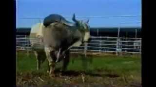 Repeat youtube video วัวชน รุ่นยักษ์ (ไอ้แสนพลัง)
