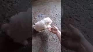 Maltese smart dog ,  Maltezer pametni pas 2 months