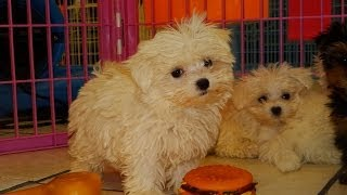Maltese, Puppies For Sale, In, Lubbock, Texas, Tx, Waco, County, Garland, Irving