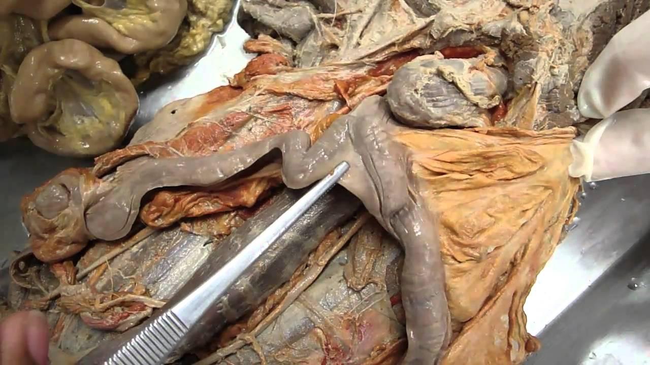 ANATOMIA VETERINÁRIA - Sistema reprodutor feminino de carnívoros ...