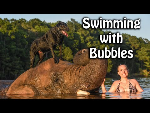 Swimming with a 9000lb elephant and Black Lab!