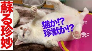 オッドアイの珍獣猫、v字開脚を見せて珍妙な記憶を蘇らせる two Funny Cats Like And39vand39 Letter From Tochigi Prefecture