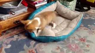 Corgi Puppies Playing (cute!) - Dogs And Puppies