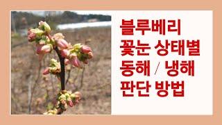 블루베리 꽃눈 상태별 동해/냉해 판단 방법