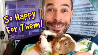 Foster Guinea Pigs Find A New Home | Meet All My Foster Pigs |