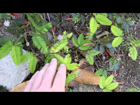 Mimosa herb in Cuba - it moves when you touch it