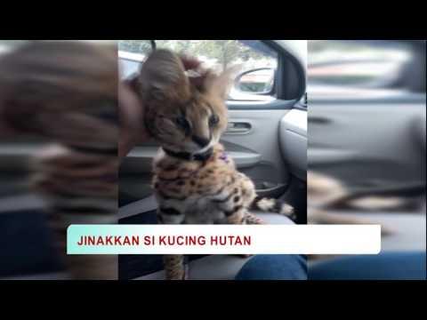 Cara Jinakkan Kucing Hutan
