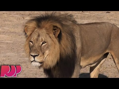 Cecil The Lion Poached Full Story And New Updates
