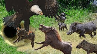 Eagles too dangerous catch Baby Warthog - Family Warthog trying to rescue but fails