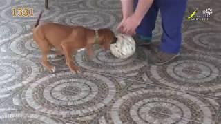 Тина-трейдинг, тестирование щенка, родезийский риджбек,  1331