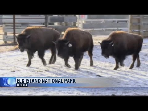 Blackfeet Tribe ready for bison return after 140 years