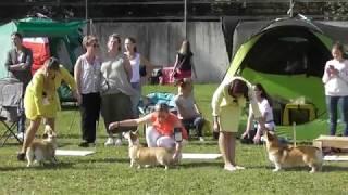 Вельш-корги, Интернациональная выставка собак в Великом Новгороде ранга CACIB