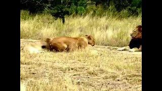 عالم الحيوانات المفترسة ● لبؤة تحاول اغراء الاسد للتزاوج ● الجنس عند الاسود ● حياه الاسود فى الغابة