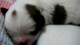 For Sale!! Shih Tzu Puppies Newborn Babies Puppies #2