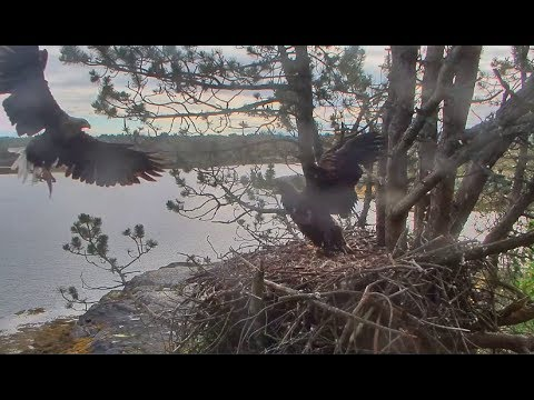Smola Norway Eagles Nest Cam ~ Baron's Early Morning Fish Delivery 6.28.17