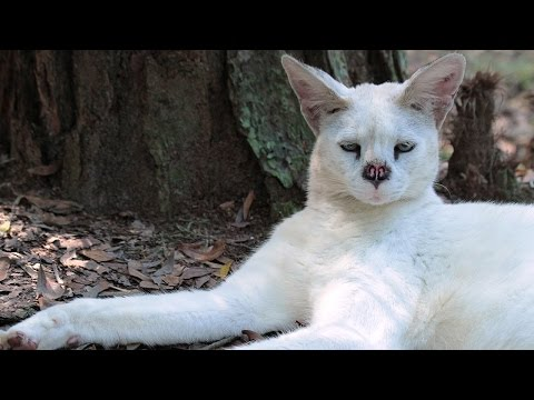 White Serval Is 4 Years Cancer Free