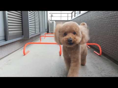 トリミングが終わったら、ちょっぴり可愛くなるトイプードル 犬