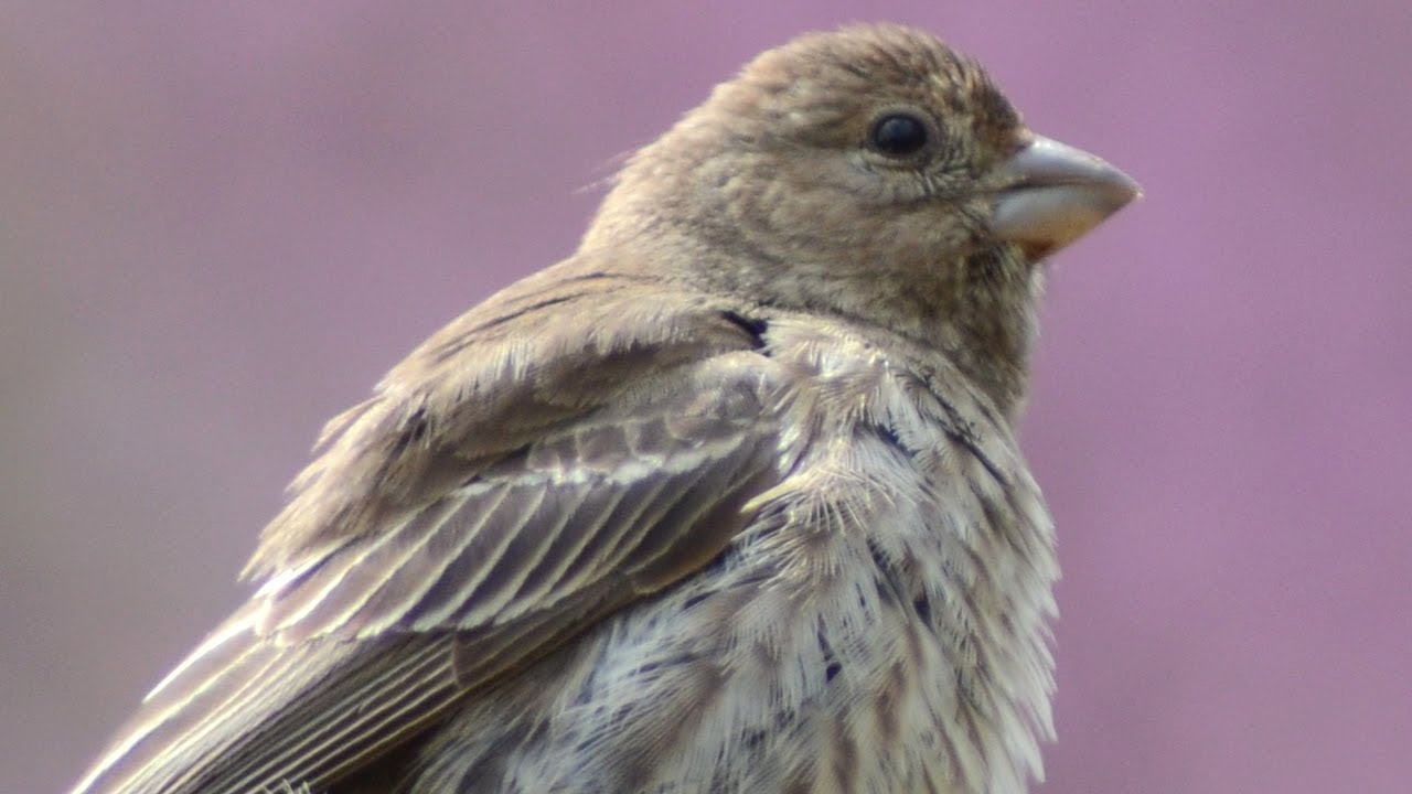 House finch call / chirp / sounds   Female - YouTube