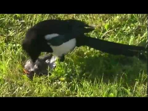 Magpie killing a song bird and its mate looking on