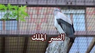 الحيوانات - النسر الملك