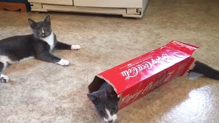 Funny cats playing with box