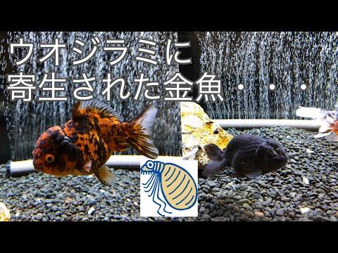 ヤフオク金魚は危険!?金魚にウオジラミ・・・