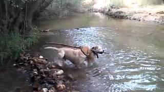 Labrador Retriever Y American Stanford