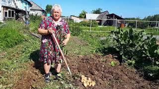 видео Выращивание картофеля в жарком климате