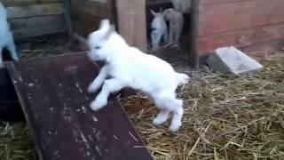 Kozy karpackie