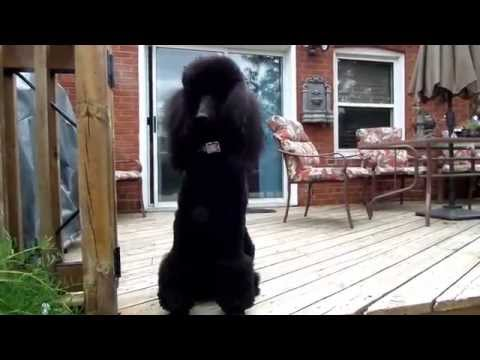 A day with Illusion the Standard Poodle
