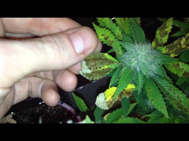 Cómo saber las carencias de nuestra planta de marihuana con solo ...