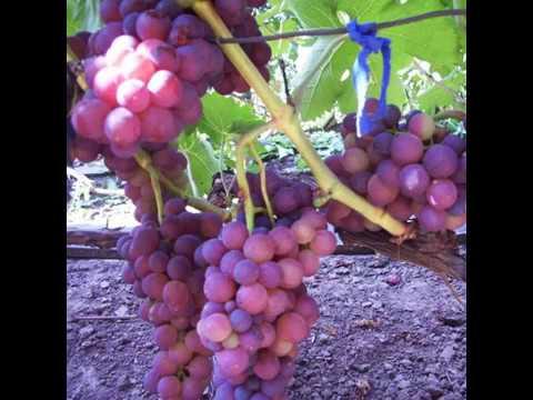Виноград мускат описание сорта и фото