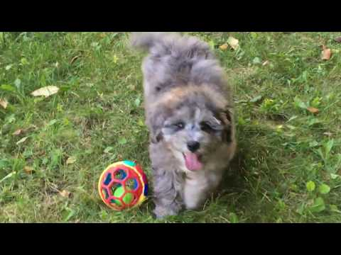 Furgee's Miniature  schnoodle  that is a blue merle male - available 8-29-18