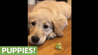 Golden Retriever puppy won't eat her veggies